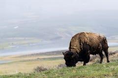 Lös bisonbuffel som betar - den Yellowstone nationalparken - mountai Arkivfoto