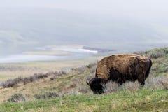 Lös bisonbuffel som betar - den Yellowstone nationalparken - mountai Fotografering för Bildbyråer