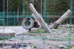 Lös björn i bur Grisslybjörn som spelar i zoo royaltyfria bilder