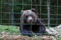 Lös björn i buren, lögner på jordningen arkivbilder