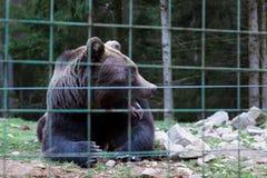 Lös björn i buren som ut klibbas hans tunga arkivbild