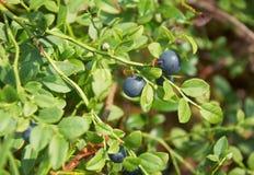 Lös blåbärbuske i skog Arkivbilder