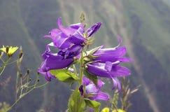 Lös blåklocka för blomma Arkivbilder