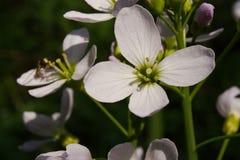 Lös blomma för mycket liten Cardamine royaltyfria bilder