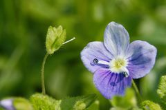 Lös blomma för mycket liten teveronika royaltyfri fotografi