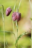 Lös blomma för Snakeshead fritillary Arkivbild
