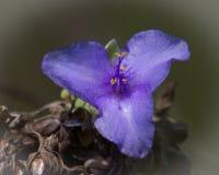 Lös blomma för Spiderwort Arkivbild