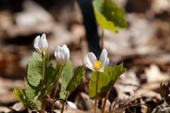 Lös blomma 02 för vår Arkivfoto