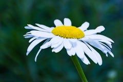 Lös blomma för vit Leucanthemumgraminifoliumvår Royaltyfri Bild