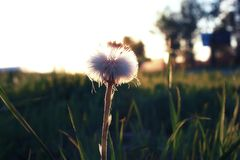 Lös blomma på en grön äng i timme för våraftonsolnedgång royaltyfri bild