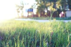 Lös blomma på en grön äng i timme för våraftonsolnedgång arkivfoto