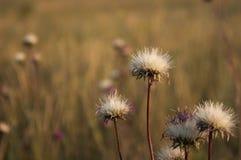 Lös blomma på fältet i solnedgången på en varm bakgrund arkivbild