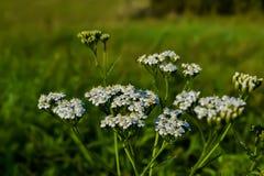 Lös blomma på fältet med suddig bakgrund royaltyfri fotografi