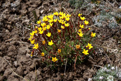 Lös blomma på Kirgizistansnöberg Royaltyfri Bild