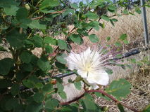 Lös blomning för vit blomma för natur arkivfoton