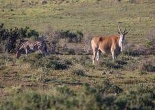 Lös bosatt eland på Addo Elephant Park i Sydafrika Arkivfoto