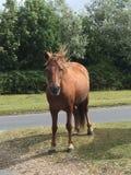 Lös brun häst i den nya skogen arkivbilder