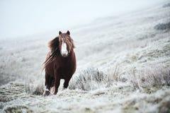 Lös brun häst på ett welsh berg Royaltyfri Foto