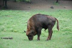 Lös buffel i naturlig reservation arkivbild