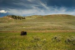 Lös buffel i Wyoming Fotografering för Bildbyråer