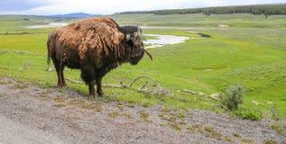 Lös buffel som förbiser det vidsträckta betande området av YNP Arkivbild