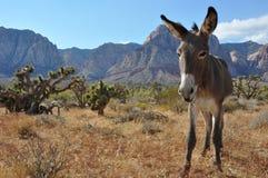 Lös burro i den Nevada öknen Royaltyfria Bilder
