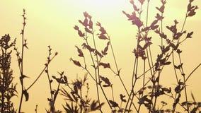 Lös buske med frö i strålarna av en storartad solnedgång i Augusti stock video