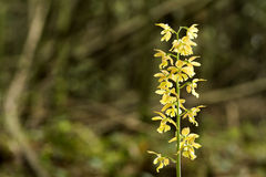 Lös calanthe missfärgar blomman royaltyfri fotografi