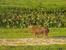 Lös capybara på grässlätten Arkivbilder