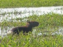 Lös capybara på vattnet Arkivfoto