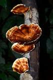 Lös champinjon på den mossiga stammen i skogen Royaltyfri Bild