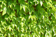 Lös druvagräsplanvägg arkivfoton