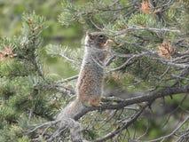 Lös ekorre, i att äta för träd - Grand Canyon nationalpark royaltyfria bilder