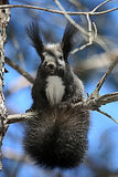 Lös ekorre på trädfilial Royaltyfri Fotografi