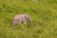 Lös elefant (den asiatiska elefanten) Arkivbild