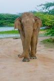 Lös elefant i den Yala nationalparken i Sri Lanka Arkivbilder