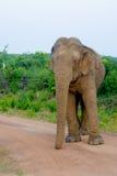 Lös elefant i den Yala nationalparken i Sri Lanka Fotografering för Bildbyråer