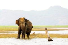 Lös elefant i Sri Lanka Royaltyfri Fotografi