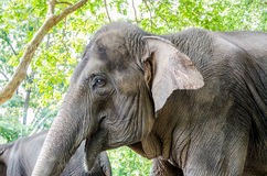 Lös elefant i Thailand Arkivfoton
