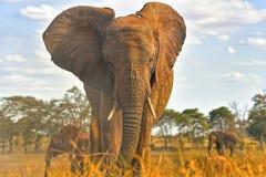 Lös elefant, Kenya nationalpark, Taita kullar Royaltyfria Bilder