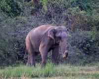 Lös elefant på lunch Royaltyfri Bild