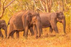 Lös elefant som är rörande på med dess flock eller gruppen av elefanter i skogen Royaltyfri Bild