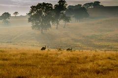 Lös emu i ett fält Royaltyfria Bilder