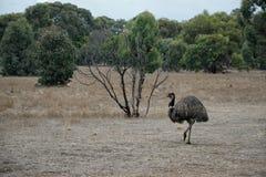 Lös emu som irrar i Serendipityfristaden, Lara, Victoria, Australien royaltyfria foton