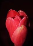 Lös etlingera Ljust rödbrun blomma för röd fackla mot frodig tropisk tillväxt i nordliga Thailand Royaltyfri Fotografi