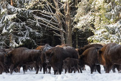 Lös europeisk AurochsWisent, kalv och moder Kalven och modern av bruna Bison Bison Bonasus Are Standing On Backgrouen Arkivbilder