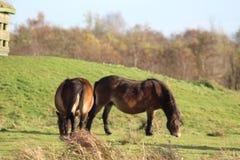 Lös Exmoor ponny i Nederländerna arkivbild