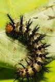 Lös exotisk larv Arkivfoton