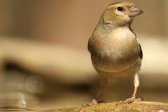 Lös fågel för Emberiza! fotografering för bildbyråer