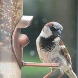 Lös fågel för husfink Arkivbilder